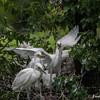 DSC_0898 Egrets