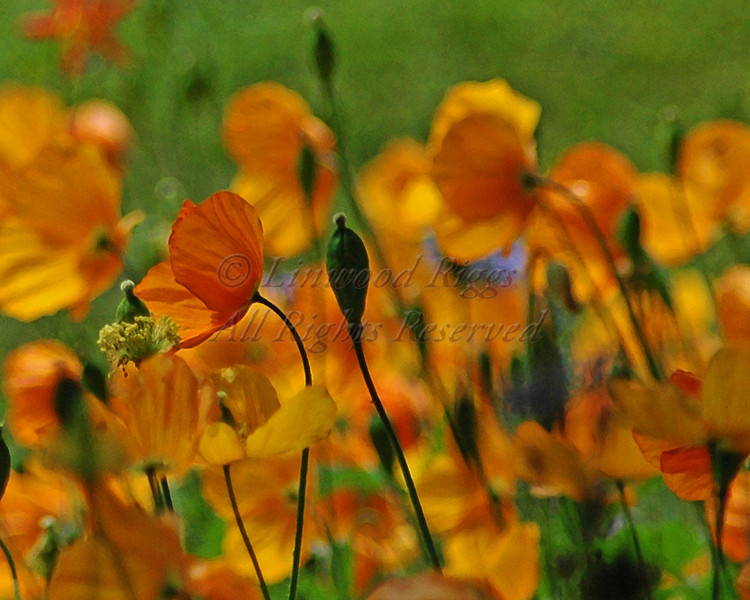 Poppies beautify a park in Sitka, Alaska.