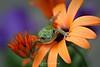 Colorful tree frog, Shakopee MN