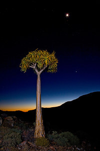 Quiver tree (Aloe dichotoma) from South Africa