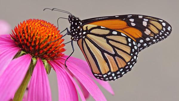 Monarch, #1051