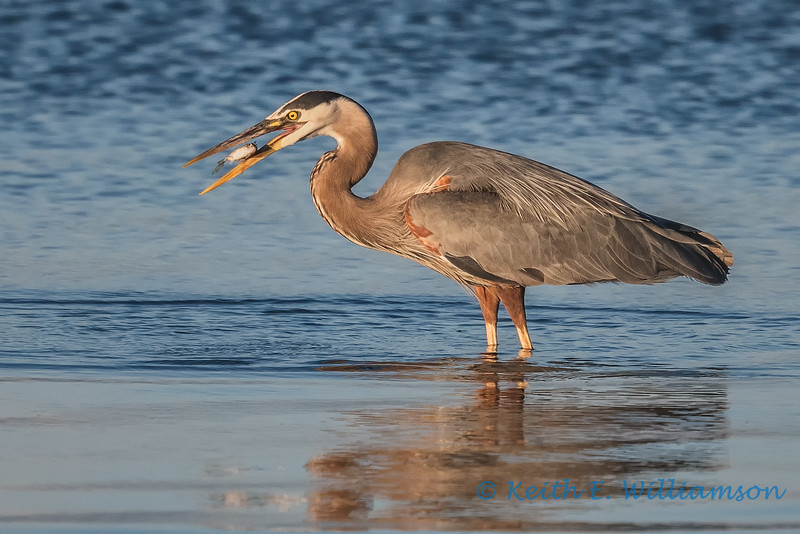 Dinner time for Great Blue Heron, Camano Island