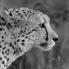 Cheetah's Eye