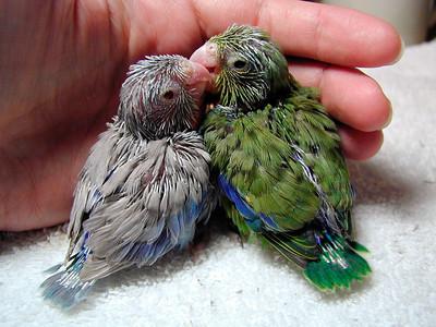 Blue Fallow Pacific Parrotlet