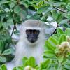 Grüne Meerkatze schaut aus einem Baum mit grünen Blättern, (Cercopithecus pygerythrus), Greater St. Lucia Wetland Park, Südafrika, [en] Vervet monkey, peeking out of tree, green leaves, South Africa
