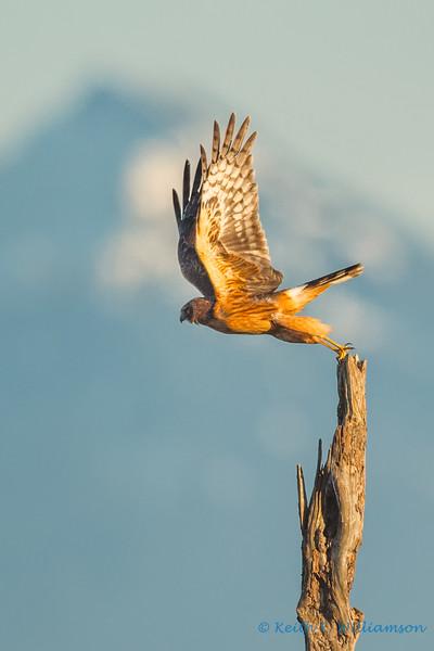 Northern Harrier Hawk, Leque Island