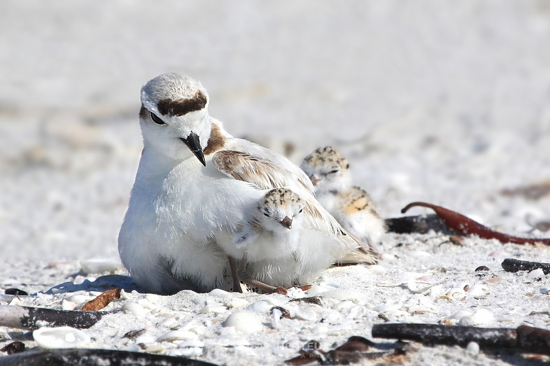 Snowy plover and chick