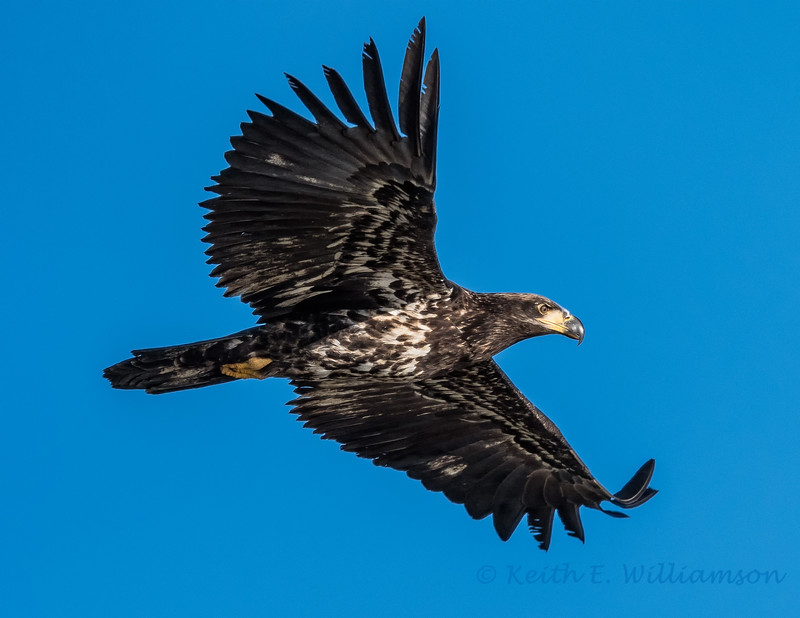 Immature Bald Eagle (in its first year), Samish Flats