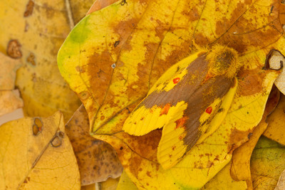 Cryptically colored moth on fallen leaves, Mozambique