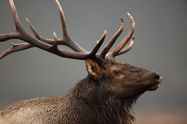 Bull Elk in Rut – Was I Too Close?