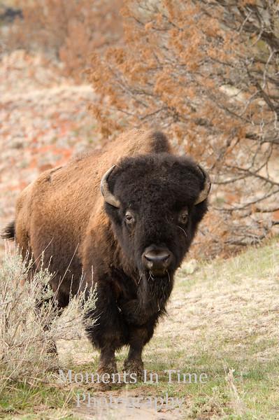 Bull Bison in brush v