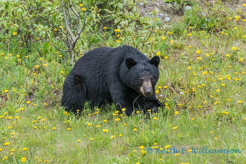 Black Bear, Haines Road, Yukon