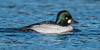 Common Goldeneye - 4