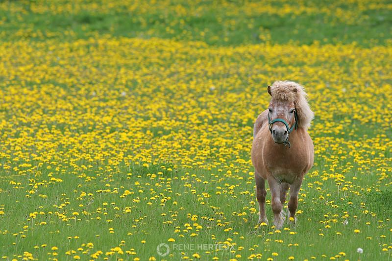 Miniature horse in dandelions