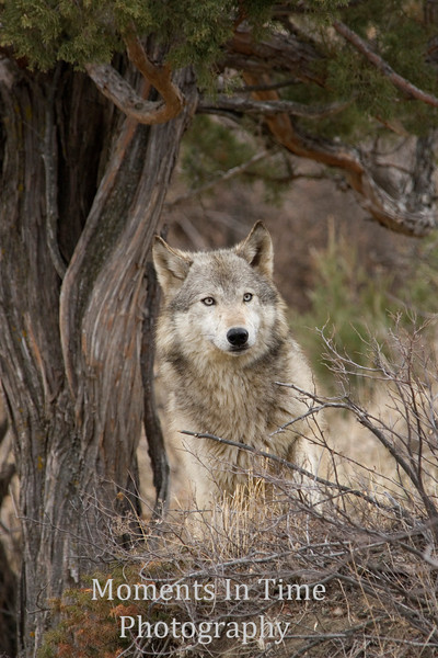 Wolf portrait with tree v