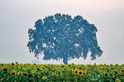 Lone Tree in Field of Sunflowers