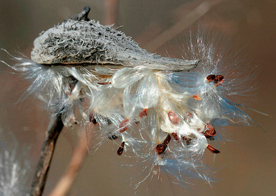 Milkweed, Prairie Ridge Ecostation, Raleigh, NC, February 2013