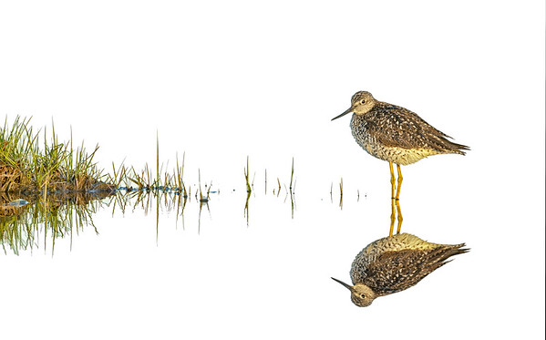 High Key Yellowlegs