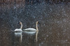 Trumpeters in spring snow