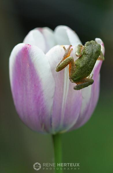 Green tree frog on tulip, Shakopee MN