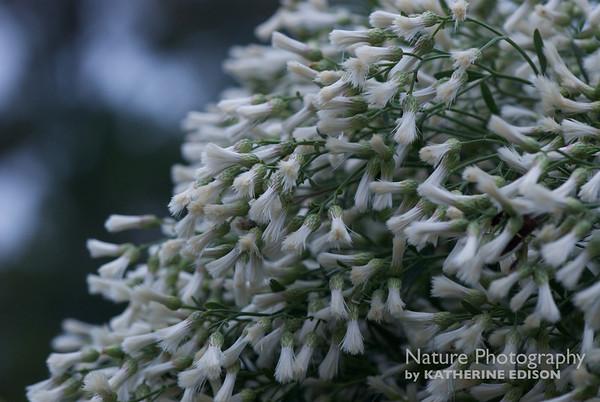 Groundsel Tree or Salt Bush