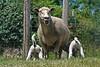 Nursing sheep, Turtle Lake MN