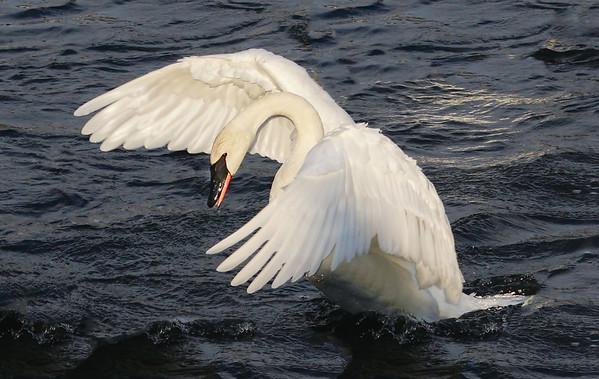 Stretching Swan, #1951