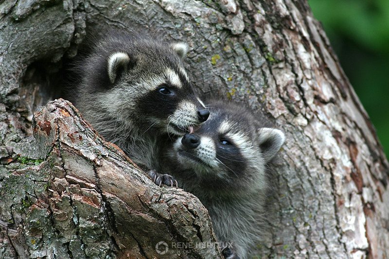 Baby raccoons, northern MN