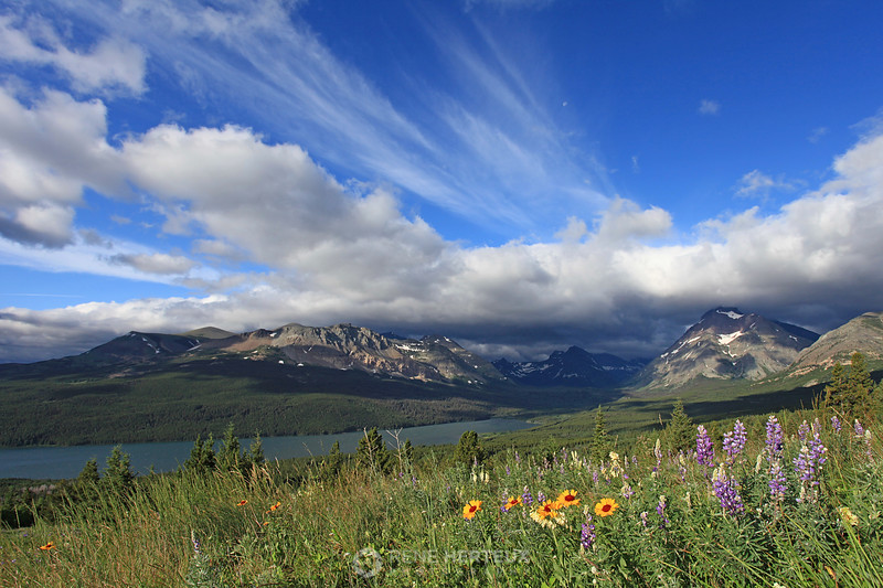Wildflowers at Two Medicine Lake