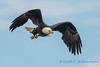 Bald Eagle, Fir Island - 4