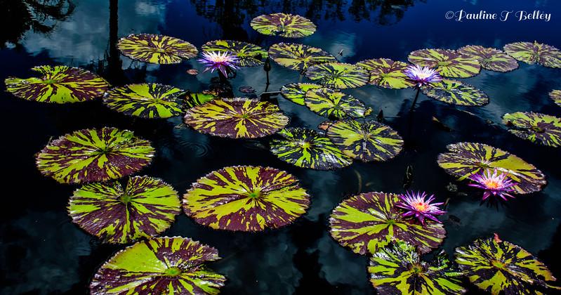 DSC_0390 Purple Flowers on Lily Pads 2