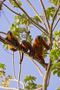 Red Howler monkeys (Alouatta seniculus) from Venezuela