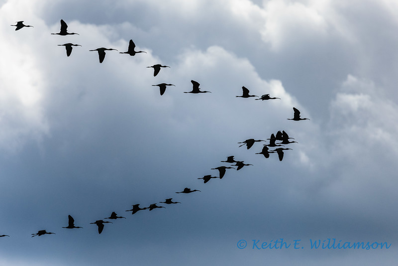 Flock of Whitefaced Ibis, flying over Malheur NWR