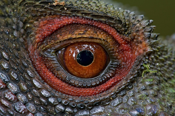 The eye of Papuan forest dragon (Hypsilurus dilophus)
