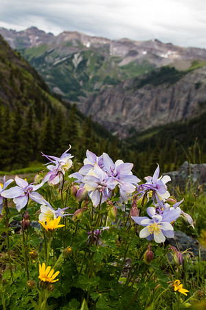 Clump Of Columbines, Telluride, CO