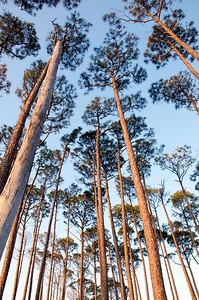 Slash Pines