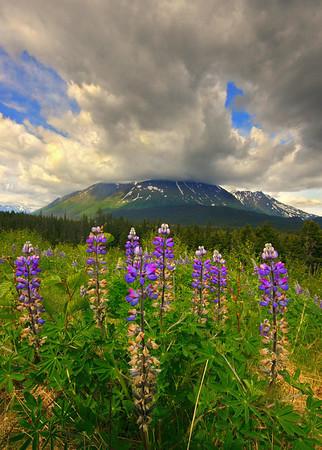 Lupins in Alaska, #0076