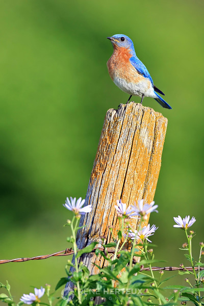 Eastern bluebird (male) on fence post, MN