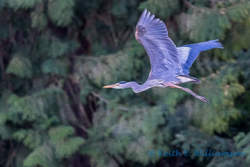 Great Blue Heron, Camano Island