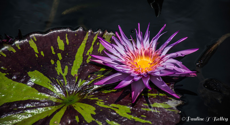 DSC_0392 Purple Flower on Lily Pad