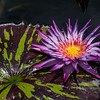 DSC_0392 Purple Flower on Lily Pad
