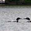 Kissing Loons