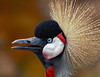 The Crowned Crane Conversationalist