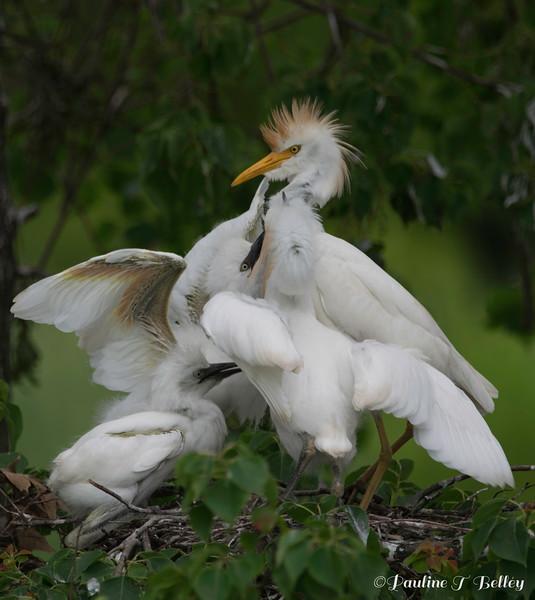 DSC_0022 Egret