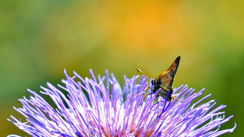 Bufferfly on Thistle, Raleigh Rose Garden, NC, 2011