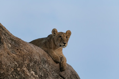 Lions in the tree II - Okavango Delta, Botswana, 2019