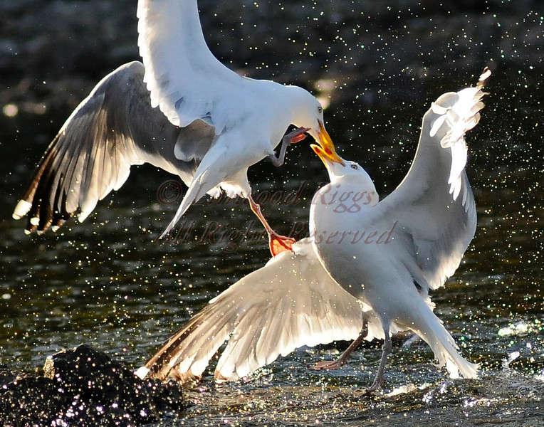 The gull on the left is still trying to get the fish the other gull just swallowed!  P.S.  the stream was FULL of alewives!