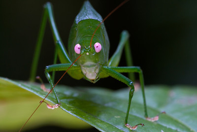 Pink-eyed katydid (Caedicia sp.) from Papua New Guinea