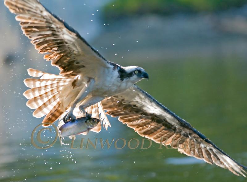 Osprey with catch at Damariscotta Mills