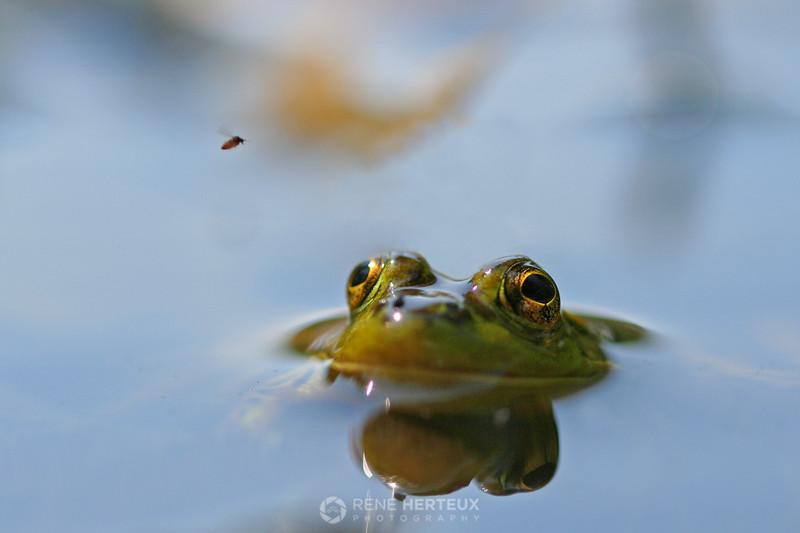 Frog eyeing a bug